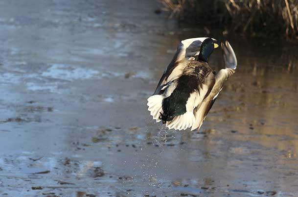 Mallard in flight