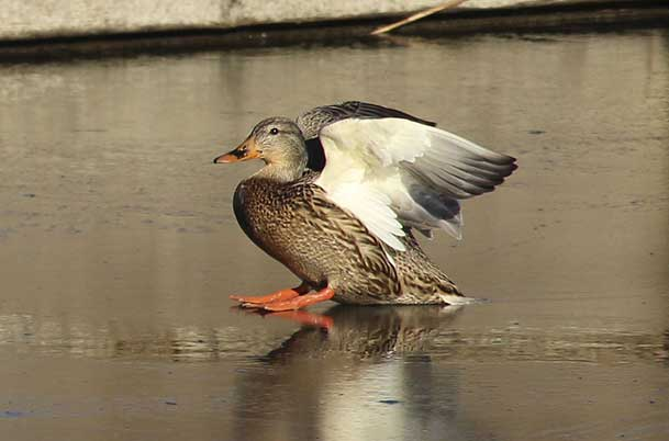 Female Mallard on ice