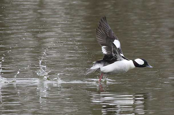 Bufflehead Launch 4