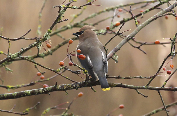 Cedar Waxwing – tail view