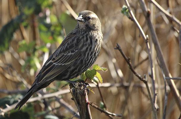 Red-winged Blackbird – female