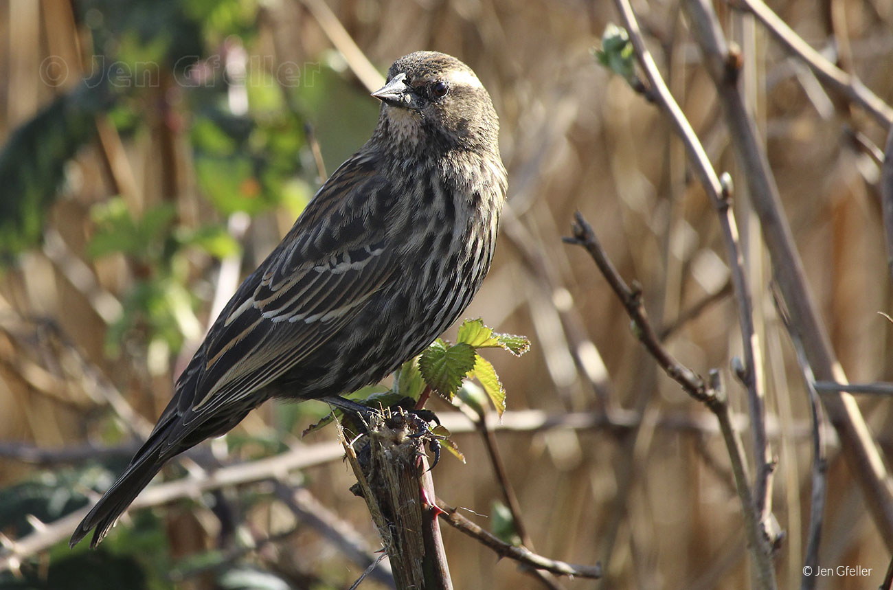 Red-winged Blackbird – female