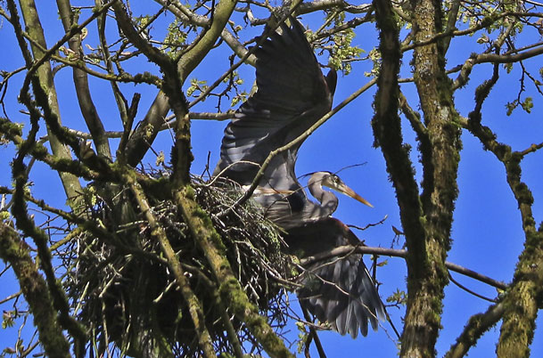 Herons in nest