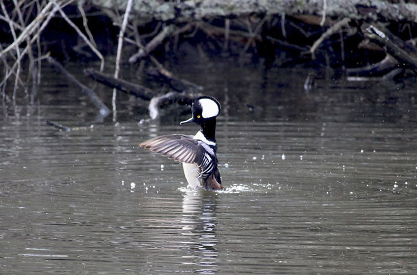 Hooded Merganser wings