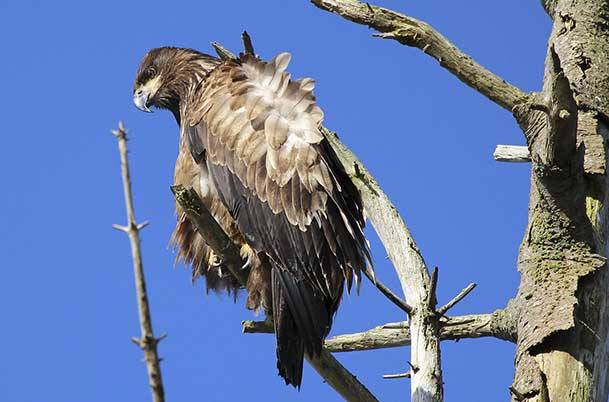 Juvenile Bald Eagle, Perched