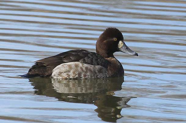 Lesser Scaup female