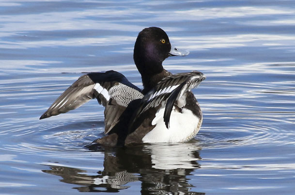Male Lesser Scaup