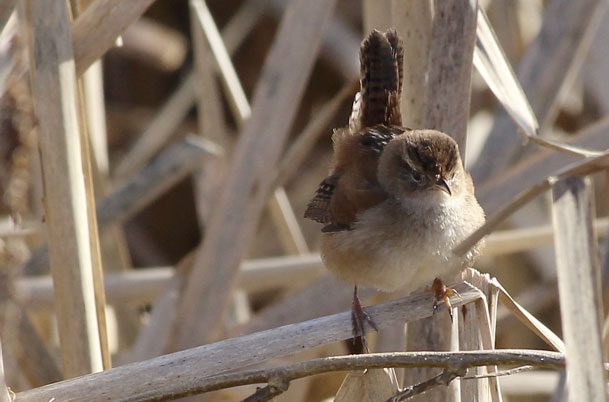 Marsh Wren – perched