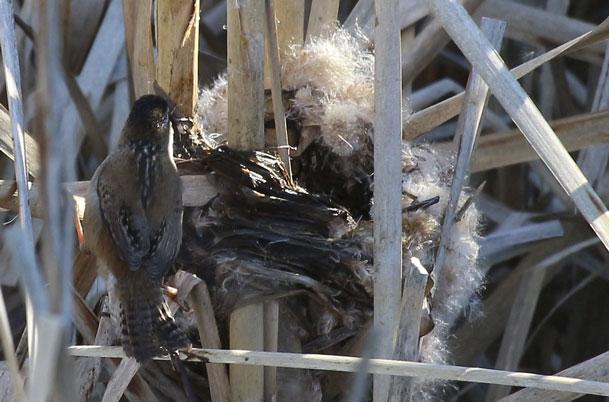 Marsh Wren – nest construction
