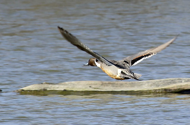 Northern Pintail flight