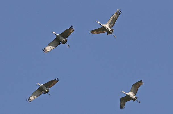 Sandhill Cranes – in flight