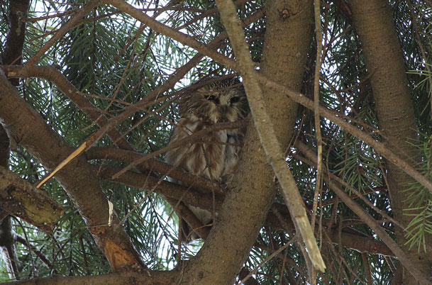 Saw-whet Owl – awake
