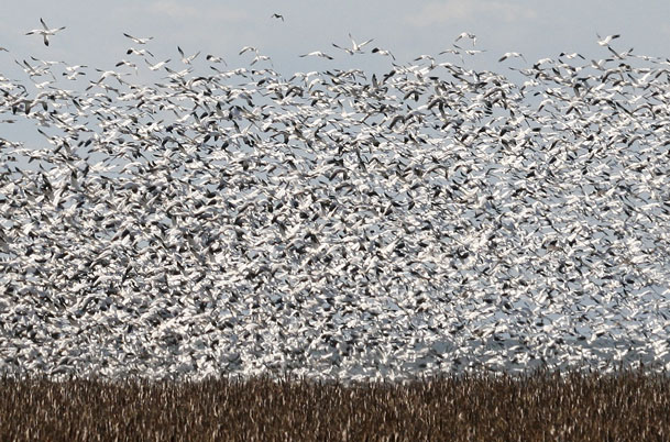 Snow Geese large flock