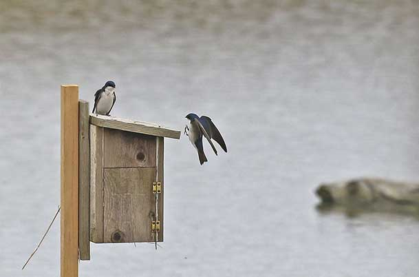 Tree Swallows – Pair 1