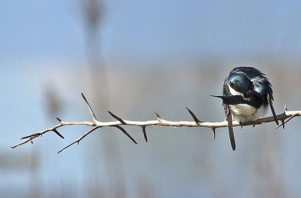 Tree Swallow Preening
