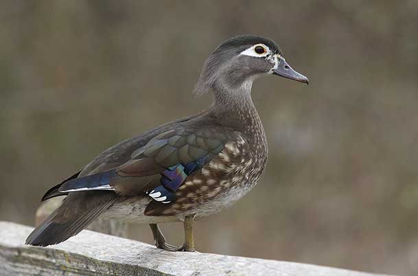 Wood Duck Female breeding plumage