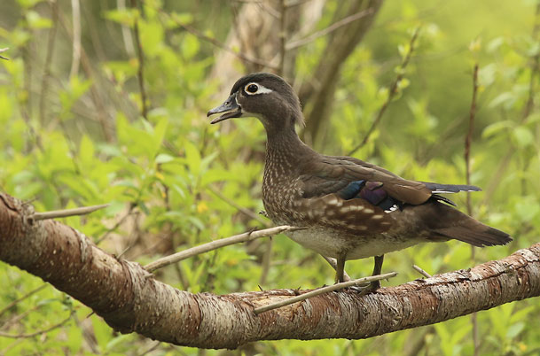 Wood Duck female in tree