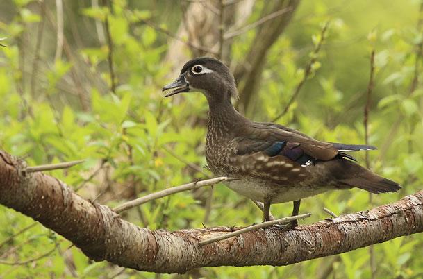 Wood Duck female in tree