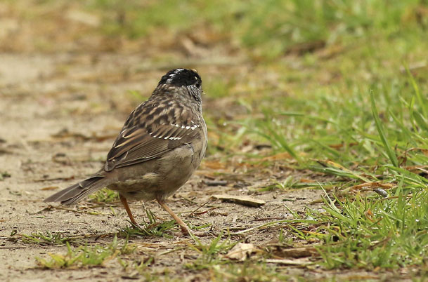 Golden-crowned Sparrow – back view