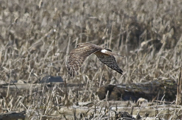 Northern Harrier in marsh