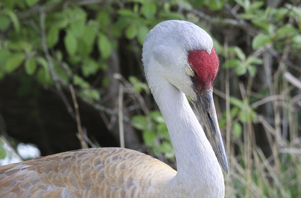 Sandhill Crane portrait – sleeping