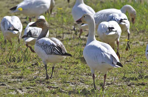 Snow Geese field
