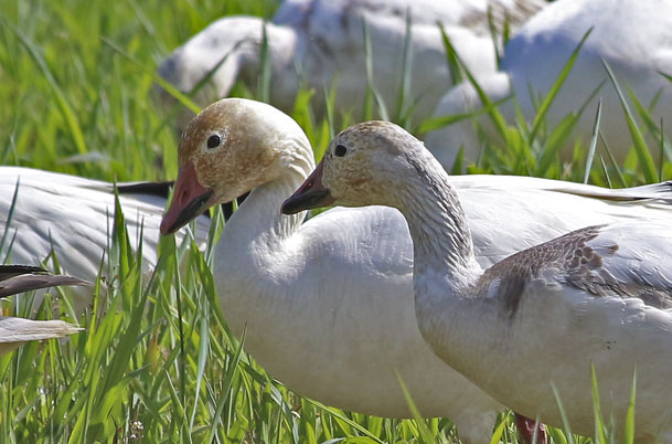 Snow Goose duo