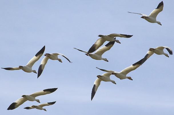 Snow Geese group in flight