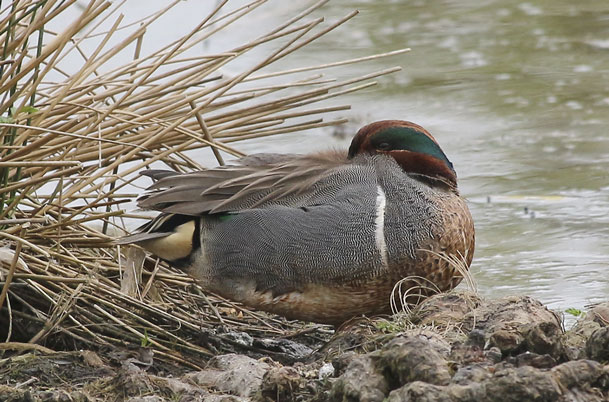 Green-winged Teal napping