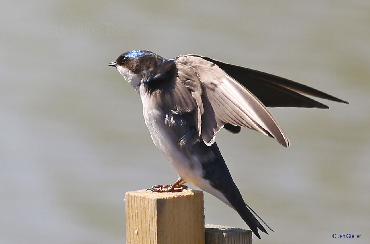Tree Swallow – Female (juvenile)