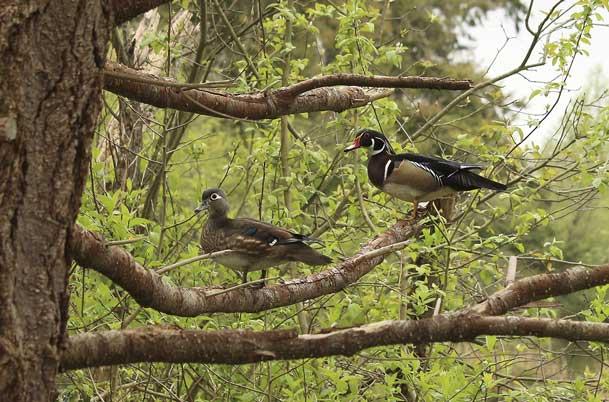 Wood Duck pair in tree