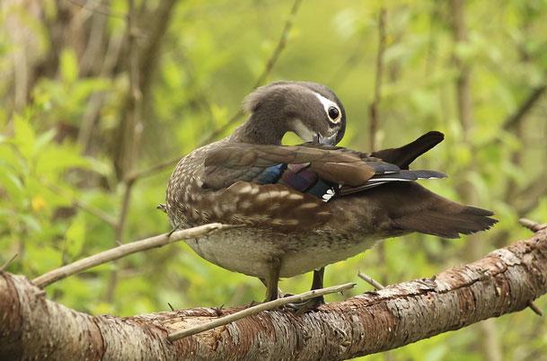 Wood Duck female preening