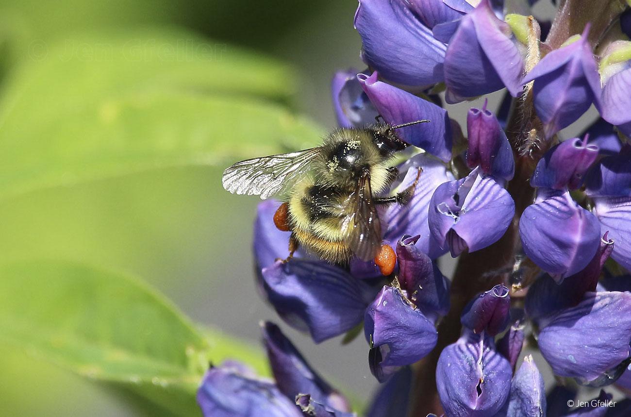 Bumblebee with full pollen sacks