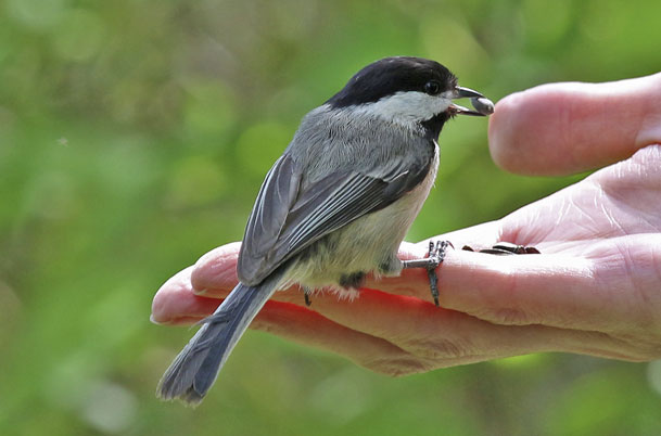 Chickadee on hand