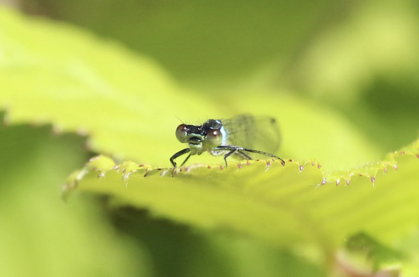 Damselfly Sunbathing