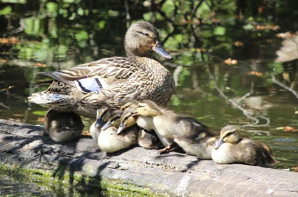 Mallard Family