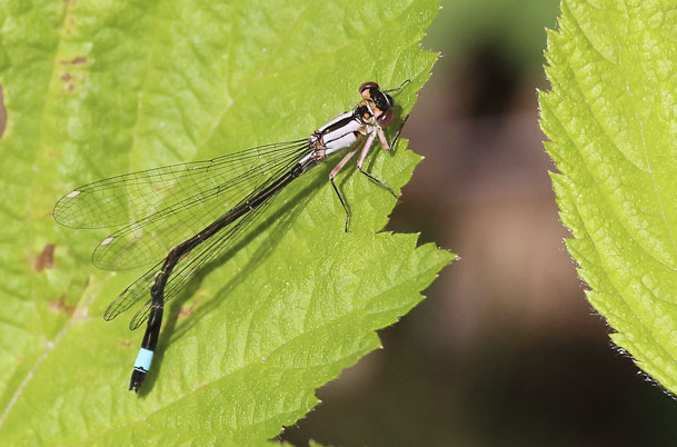Pacific Forktail – female