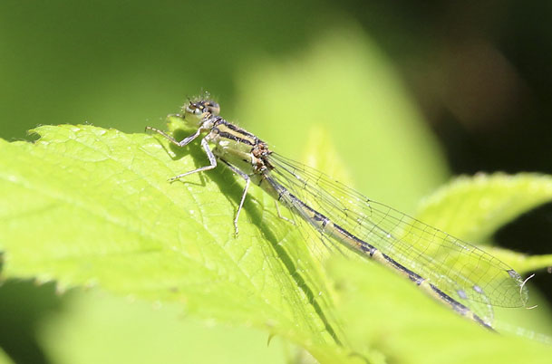 Tule Bluet – female