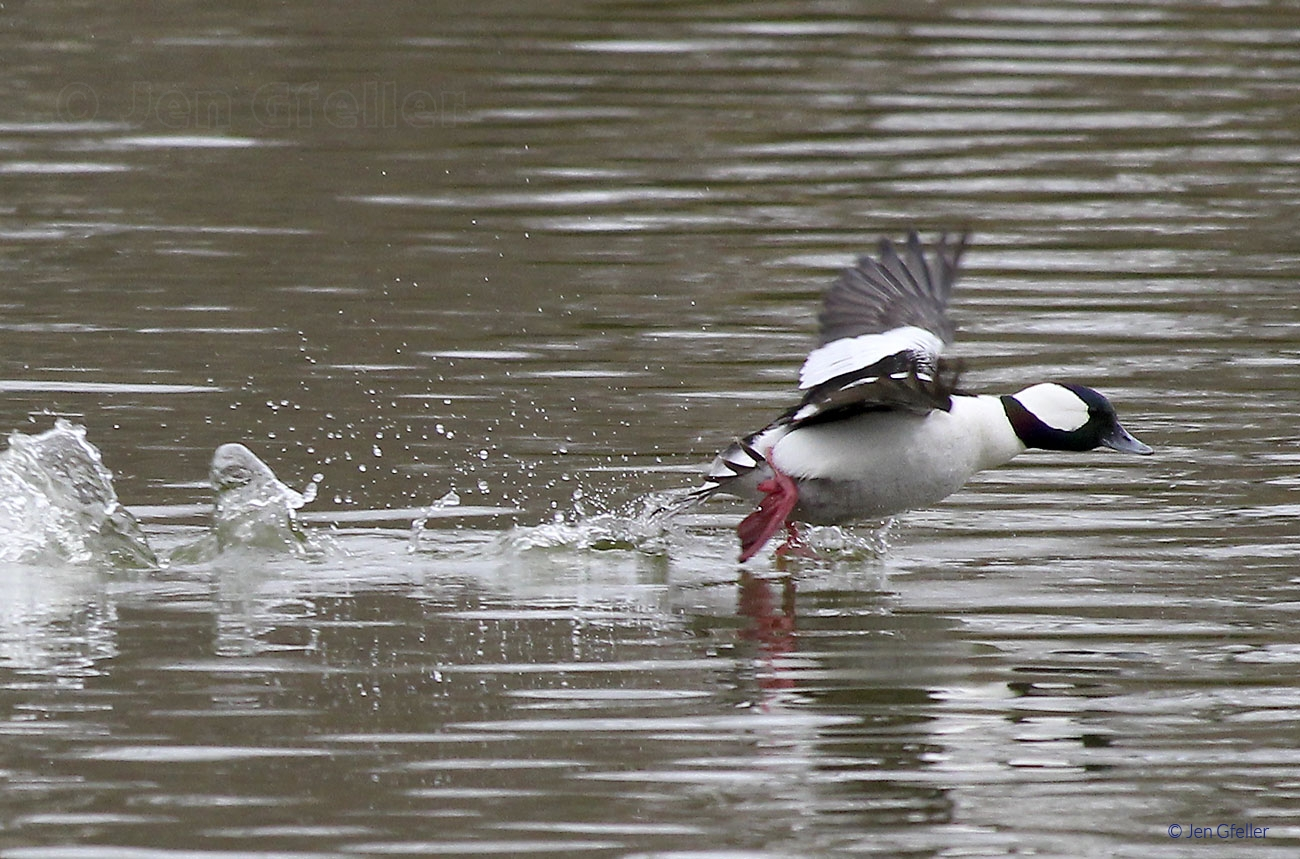 Bufflehead Launch 2