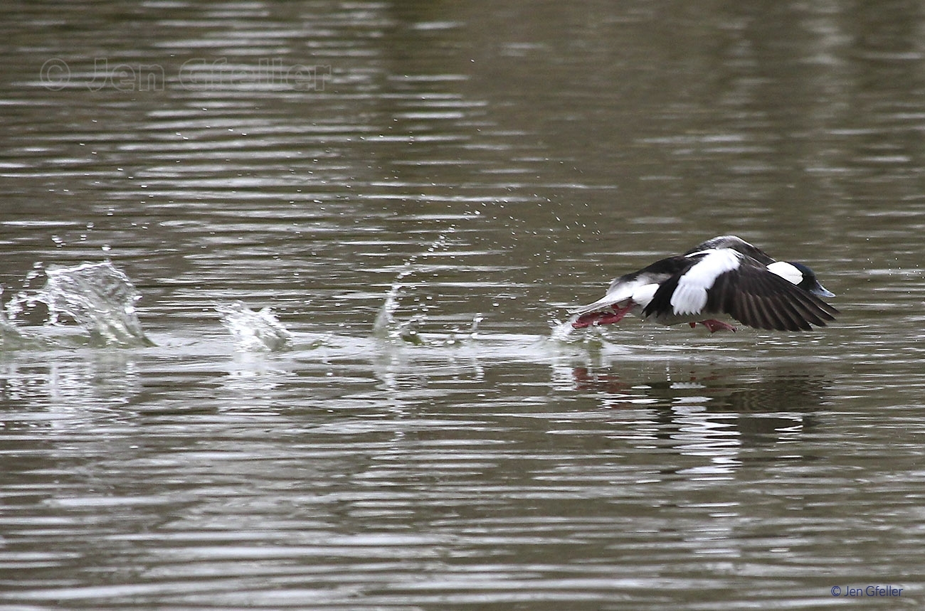 Bufflehead Launch 3