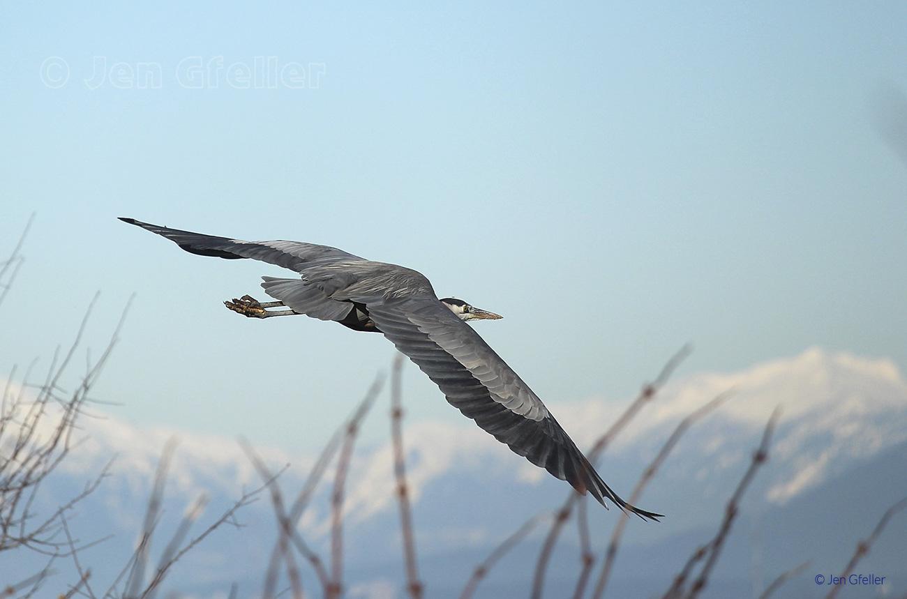 Great Blue Heron – gliding