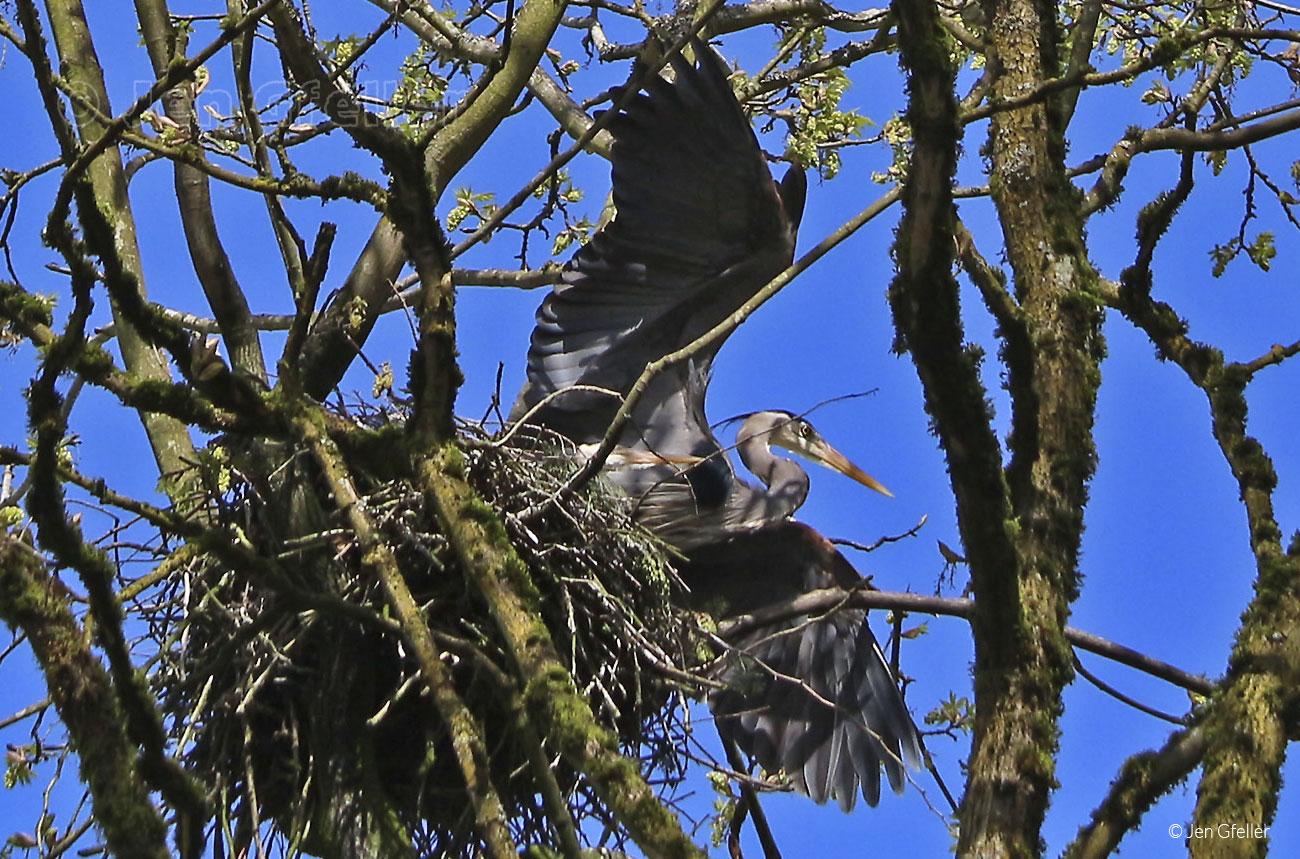 Herons in nest