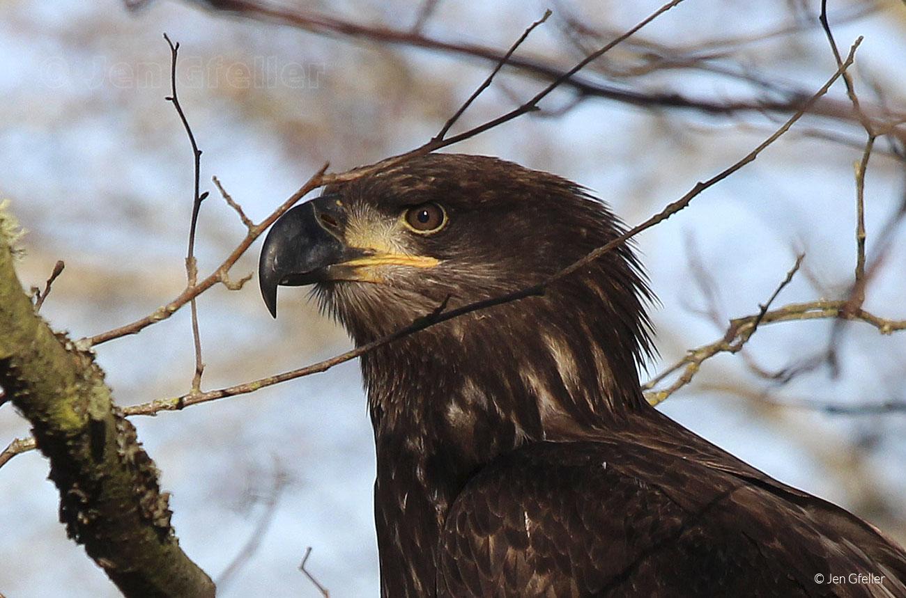 Juvenile Bald Eagle – profile