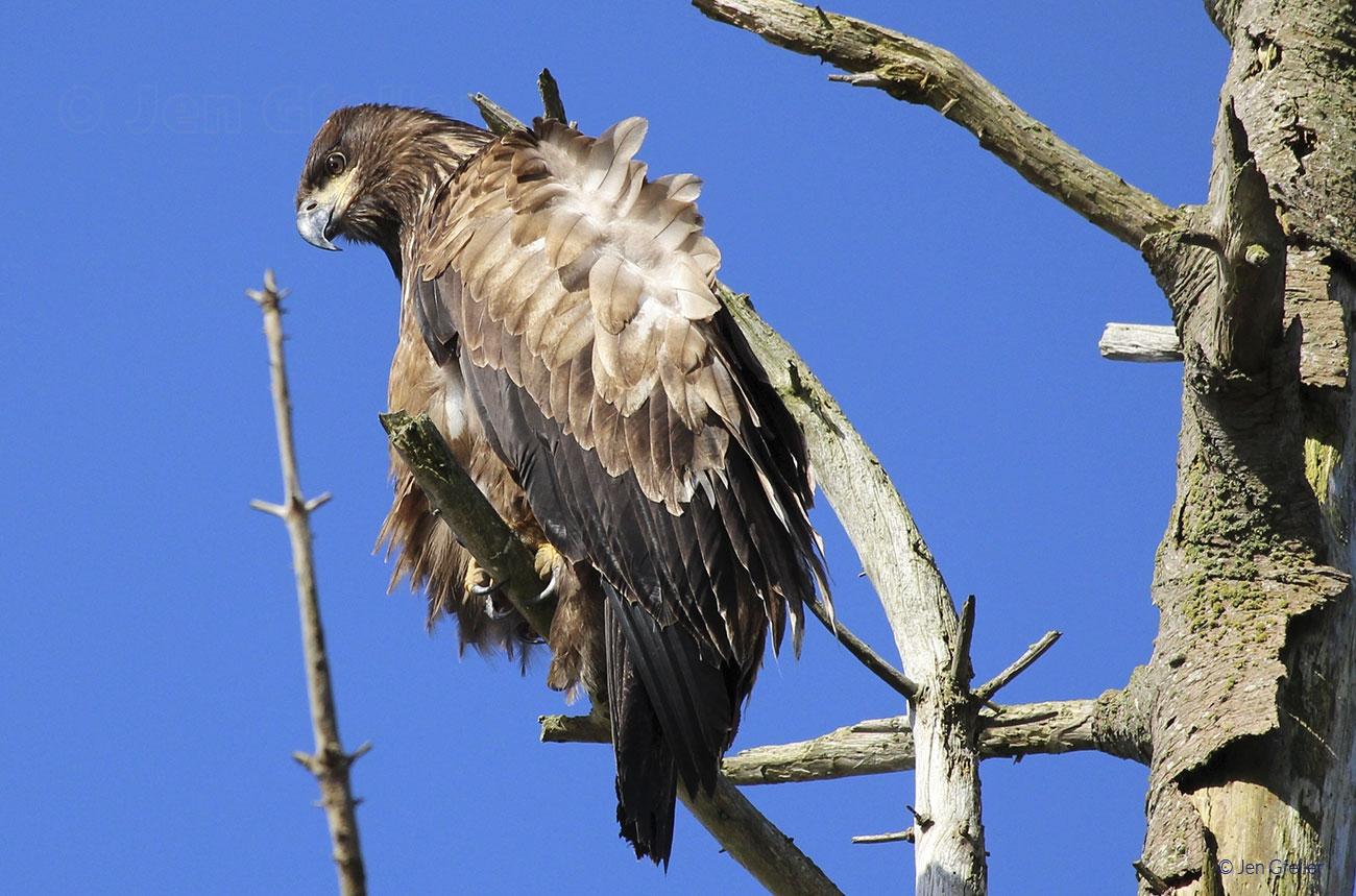 Juvenile Bald Eagle, Perched