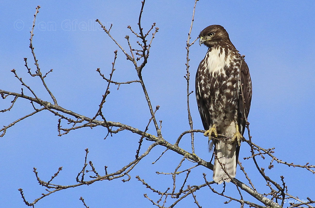 Red-tailed Hawk – juvenile