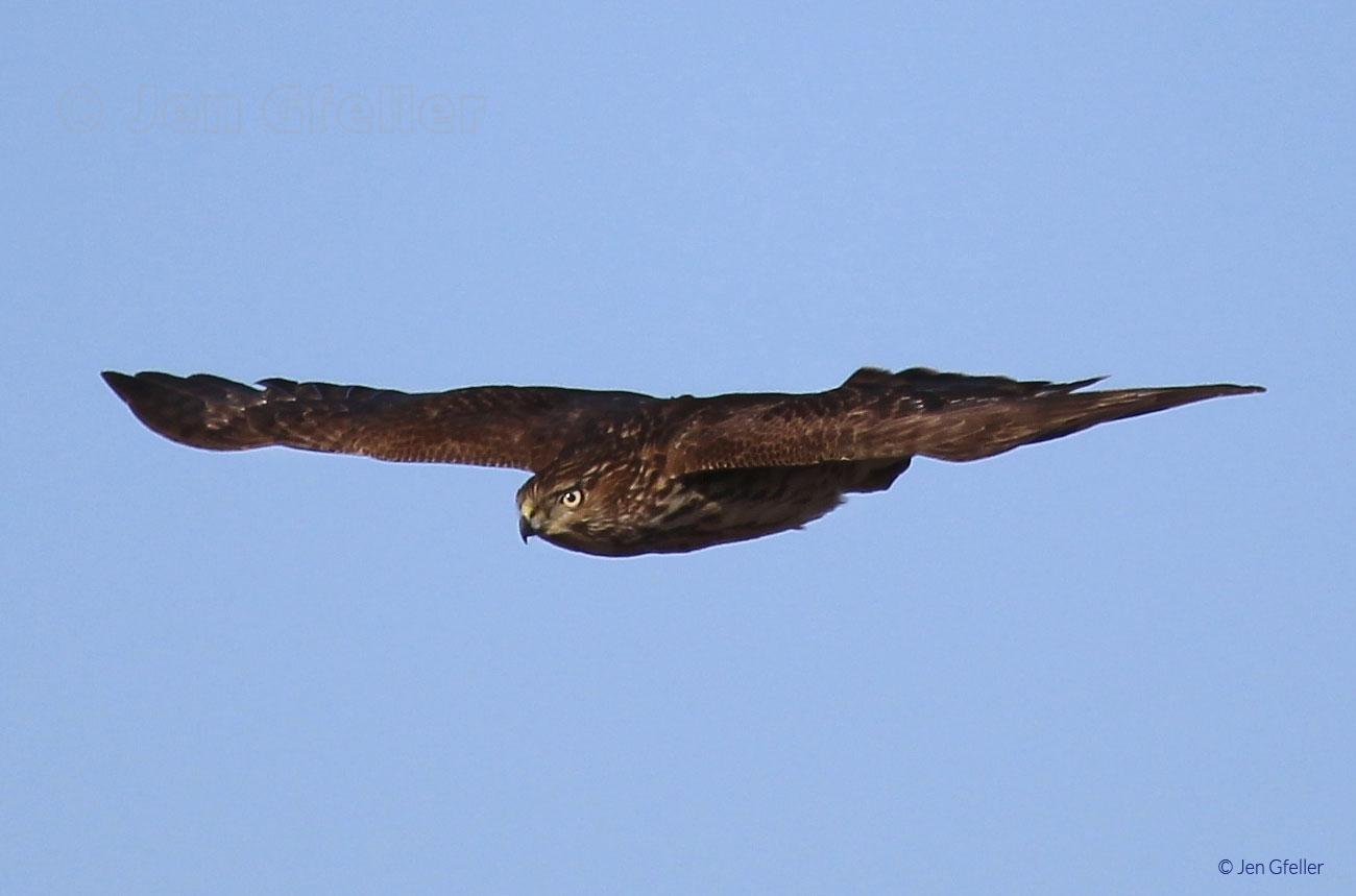 Greater Kestrel in flight