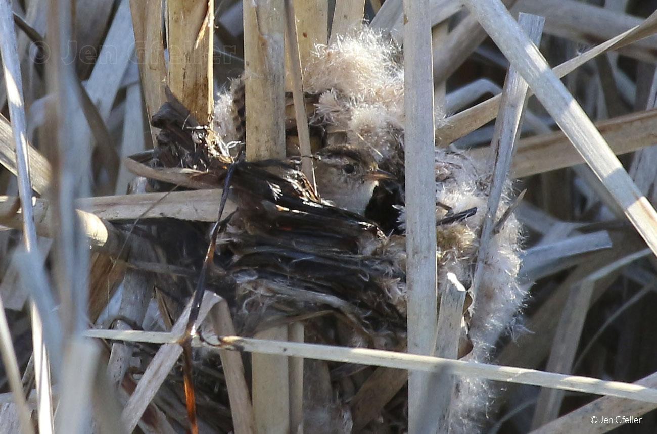 Marsh Wren – Nest testing