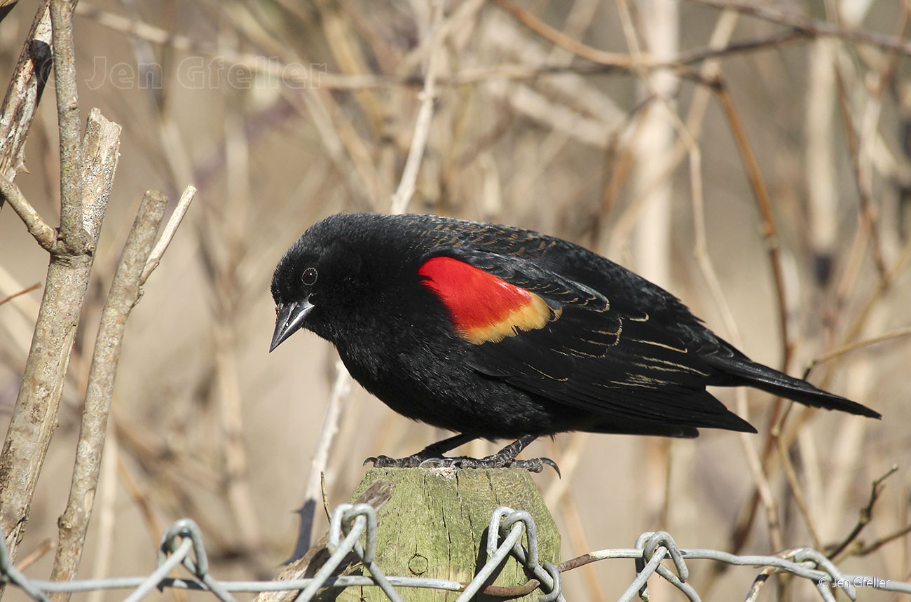 Red-winged Blackbird – male