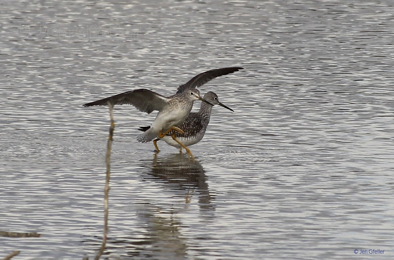 Yellowlegs Duo