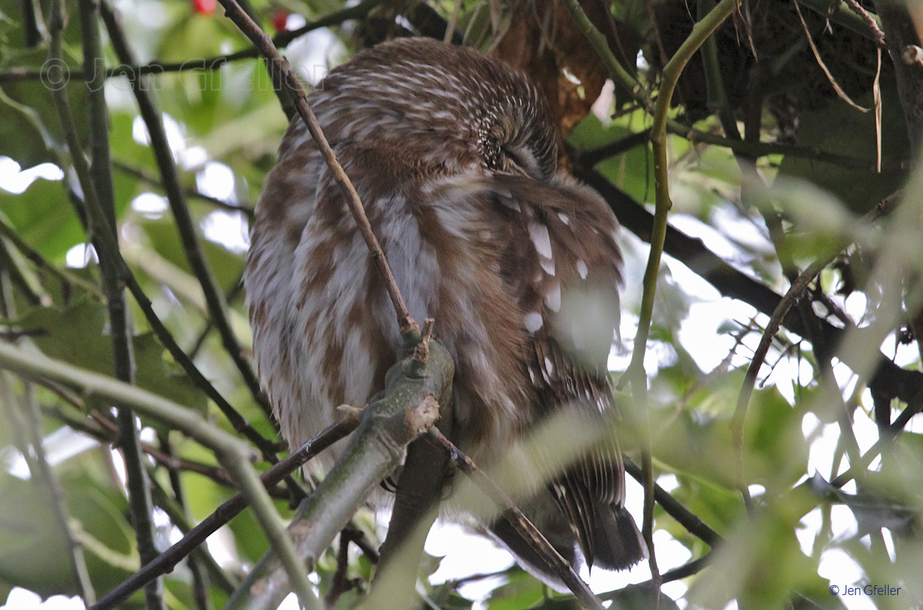 Saw-whet Owl sleeping